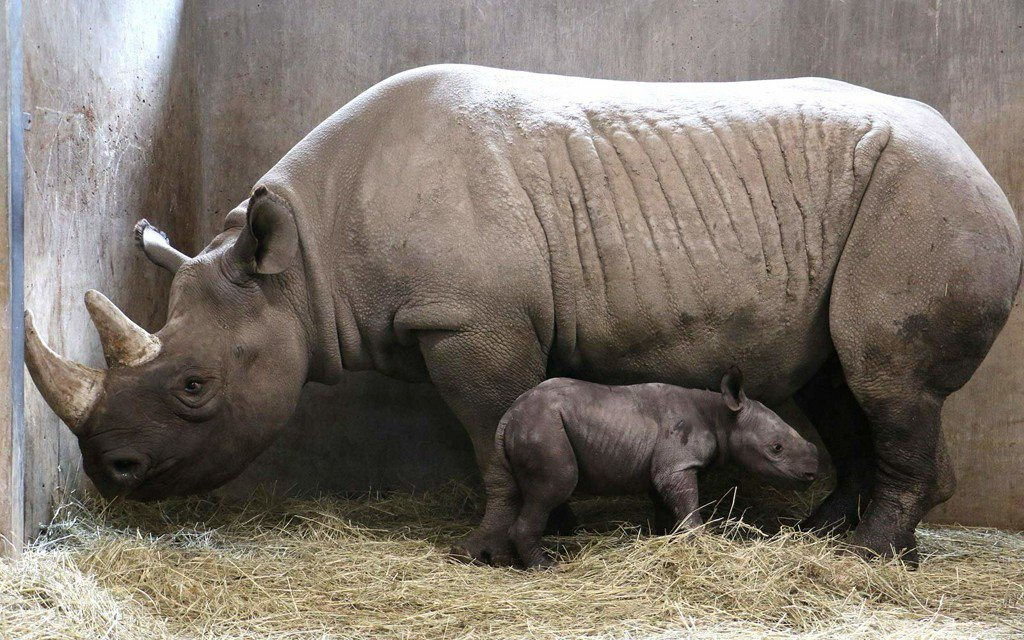 A rare black rhino was born at Iowa's @blankparkzoo—and oh gosh it is so cute. https://t.co/qZavFUM6Ce https://t.co/uG5D6xaDXm