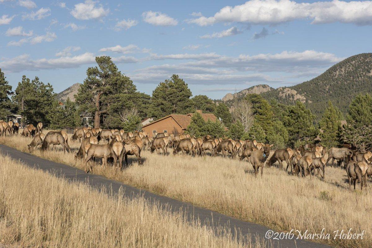 Elk jam on Highway 7 near Estes Park 9News