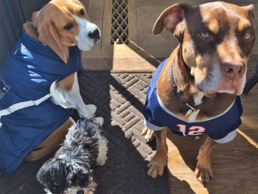 Tom Brady's dogs are in supportive gear for the Patriots game against Steelers