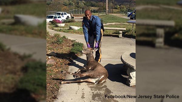 New Jersey state trooper rescues deer from drowning in pool