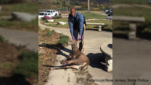 New Jersey State trooper rescues deer from drowning in swimming pool