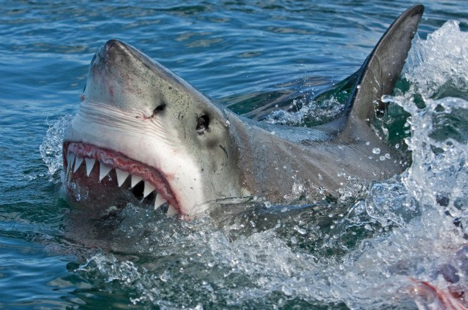 A worldwide spike in shark attacks are allegedly due to human activity