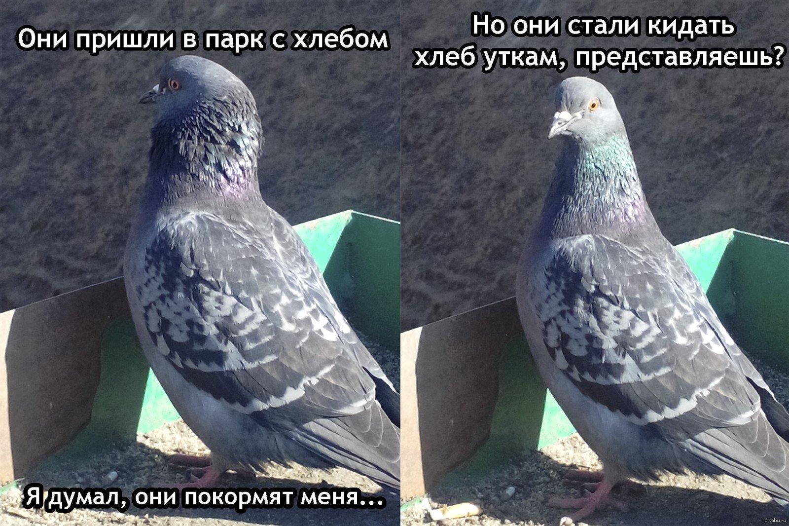 Картинки прикольные про голубей с надписью, рисунок открытка днем