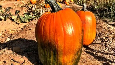 No snow on the pumpkin this year cowx