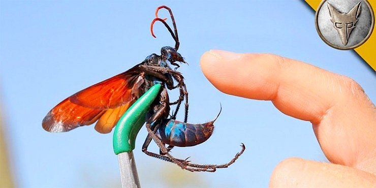 OUCH!!! Coyote Peterson Lets Himself Get Stung By Tarantula Hawk, Instantly Regrets It https://t.co/lZRxrbsMYJ https://t.co/qa5SBMqnSh