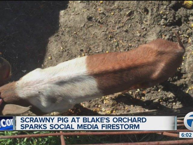 of skinny pig at Blake's Orchard sparks social media firestorm.