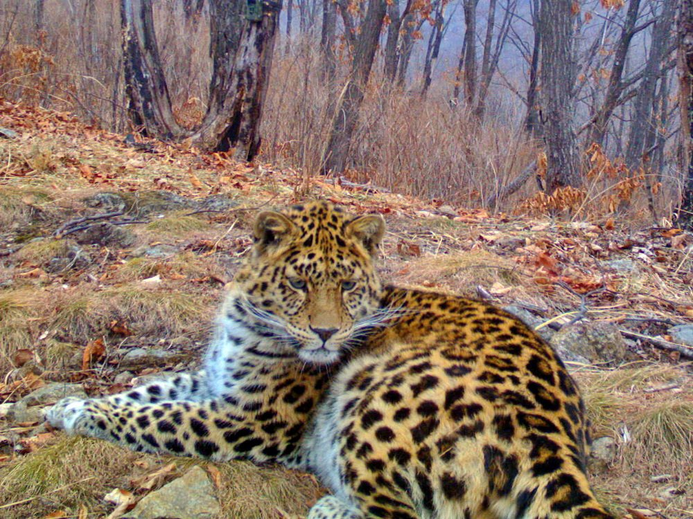 Леопард кошка уссурийский фото