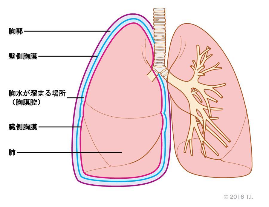 呼吸器系2,3-呼吸解剖1,2 -