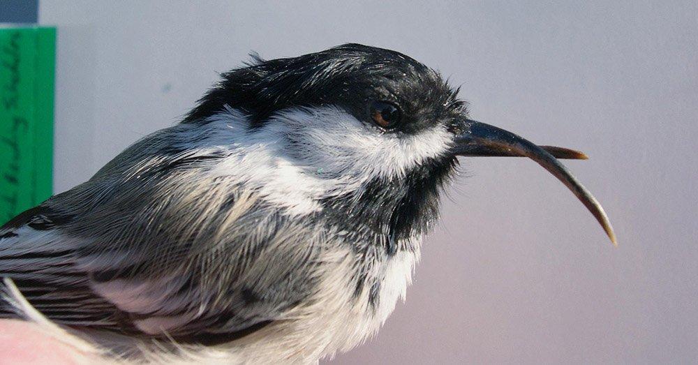 Virus linked to birds in Alaska with deformed beaks.