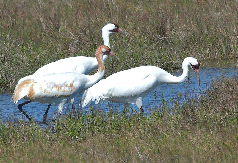 Whooping crane killer barred from owning firearms for next five years