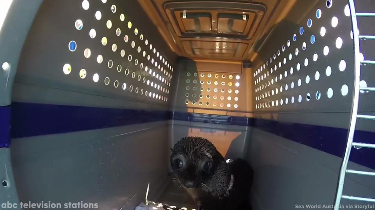 HEARTWARMING: Rescued seal pups released into wild