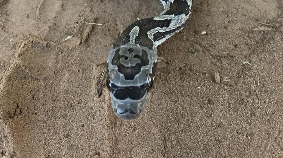 This Texas snake looks like it's wearing sunglasses and a mustache