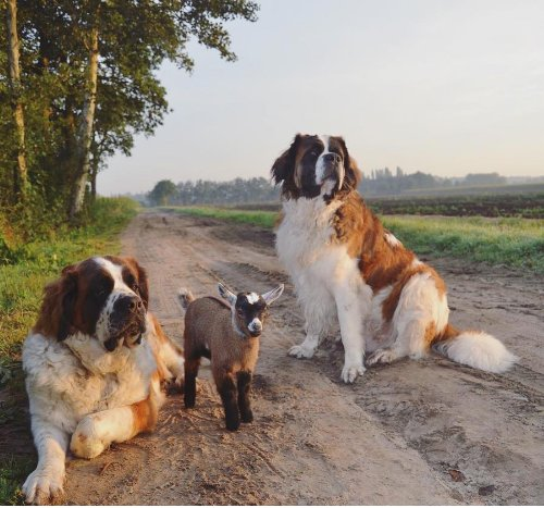 This baby goat is being raised by two St. Bernards
