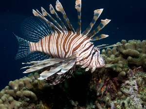 How to get rid of the lionfish taking over the Gulf? Eat 'em