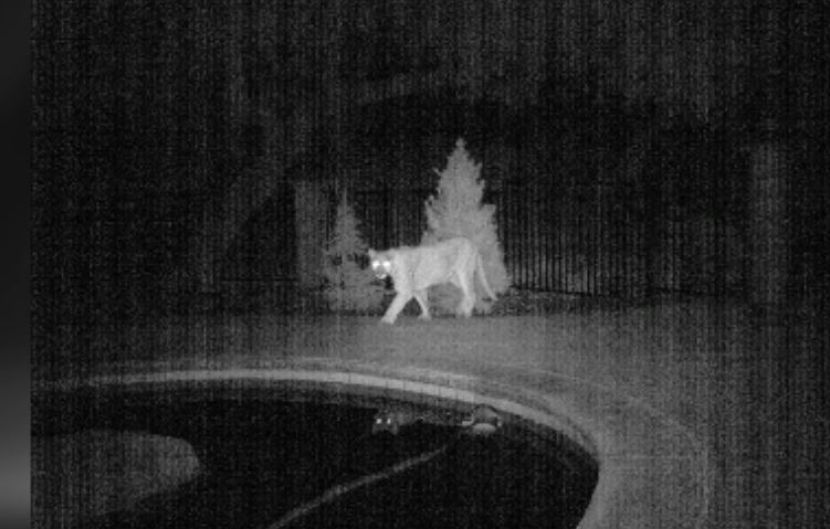 Mountain lion suspected of killing goats in Murrieta