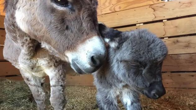 Donkey rescued from NC flood gives birth