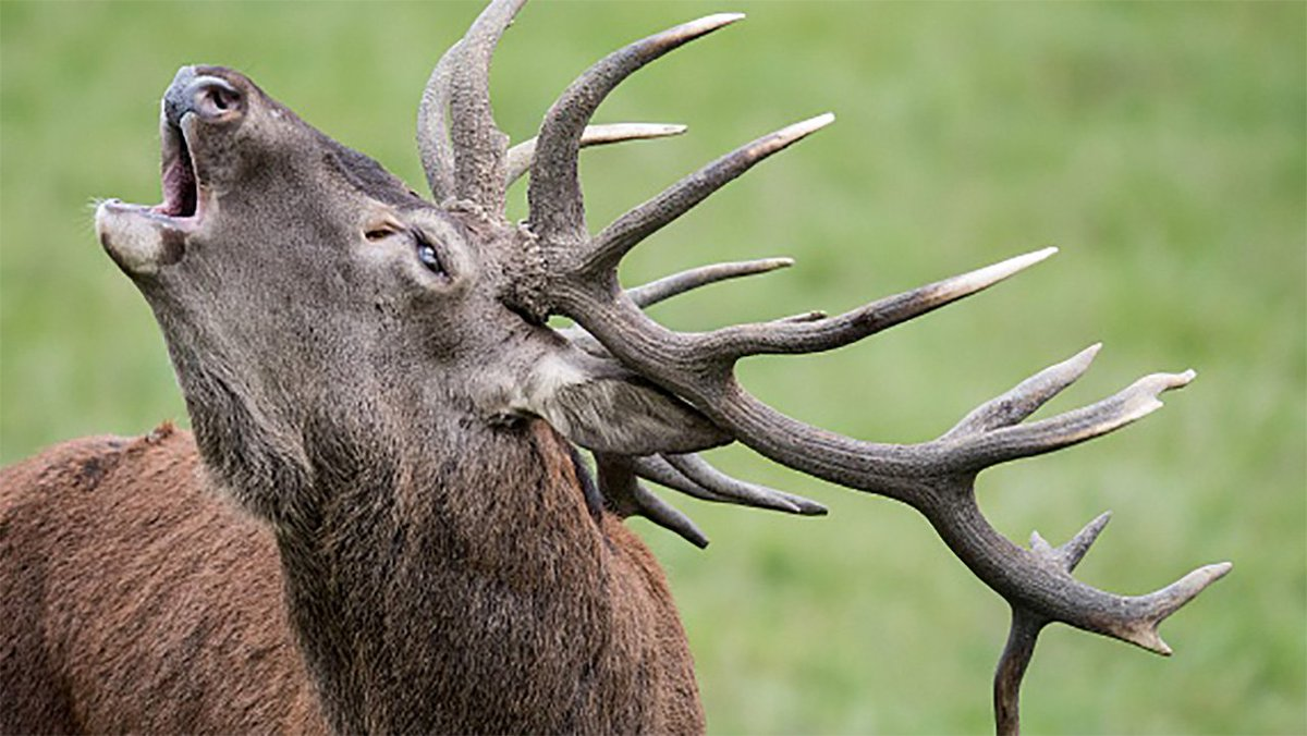 First elk sighting in SouthCarolina since 1700s