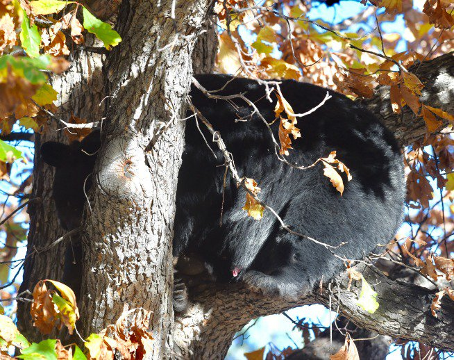by @cliffpix of a bear napping in a tree at University and 5th in Boulder