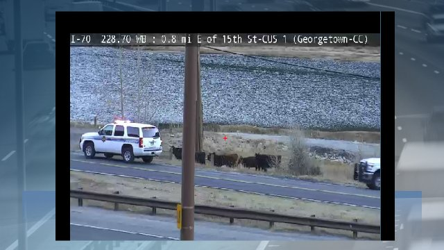 I-70 & Georgetown crews are collecting cattle after yesterday's semi truck rollover crash 9news