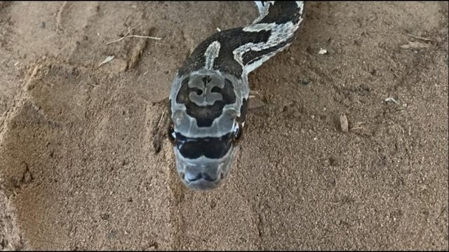 snake looks like it's wearing sunglasses and a mustachesnakes