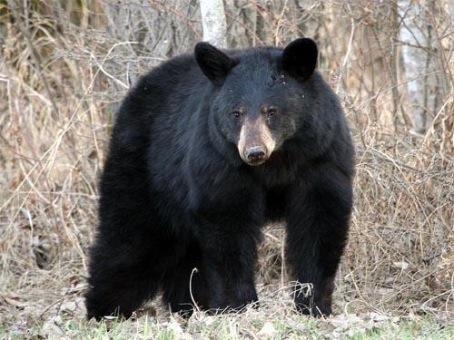 Black bears moving east in Massachusetts
