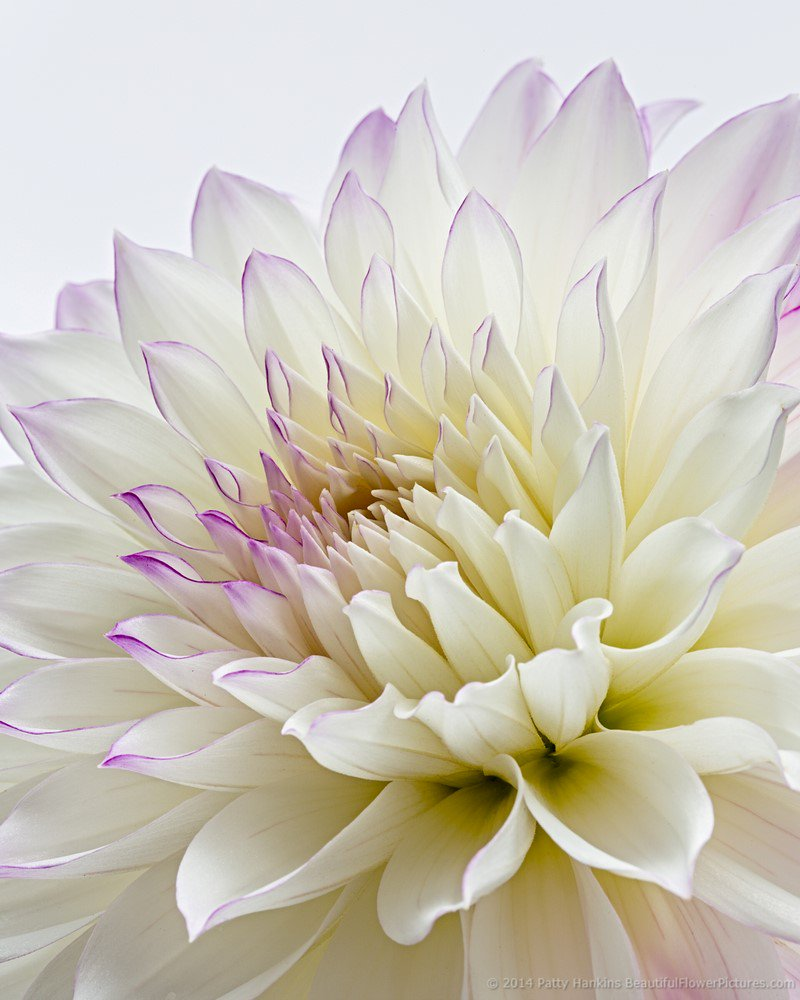 Petals of a Purple and White Dahlia  https://t.co/6tvUPqlW54 https://t.co/AbTJlNvjq3
