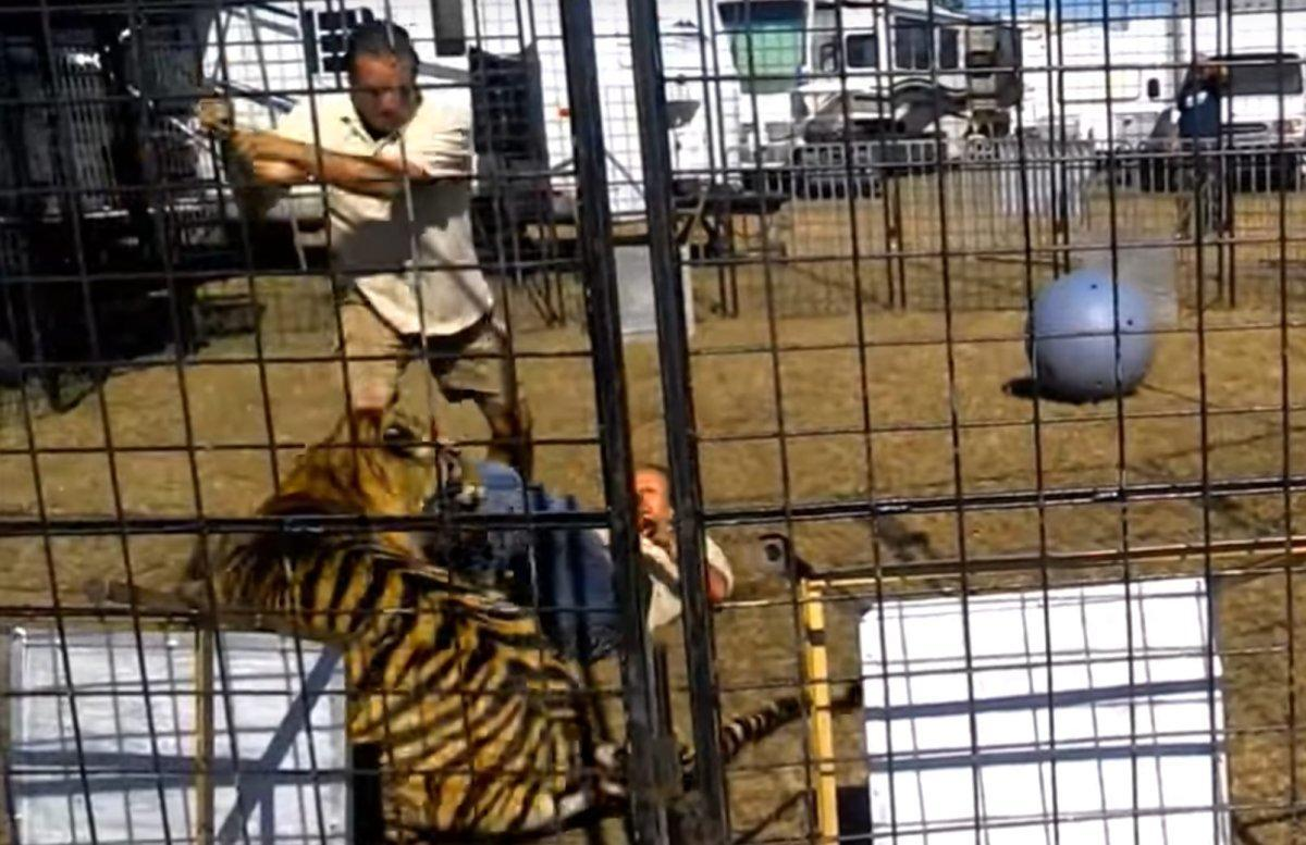 SEE IT: A tiger attacks his trainer in front of 33 kids at a Florida fair