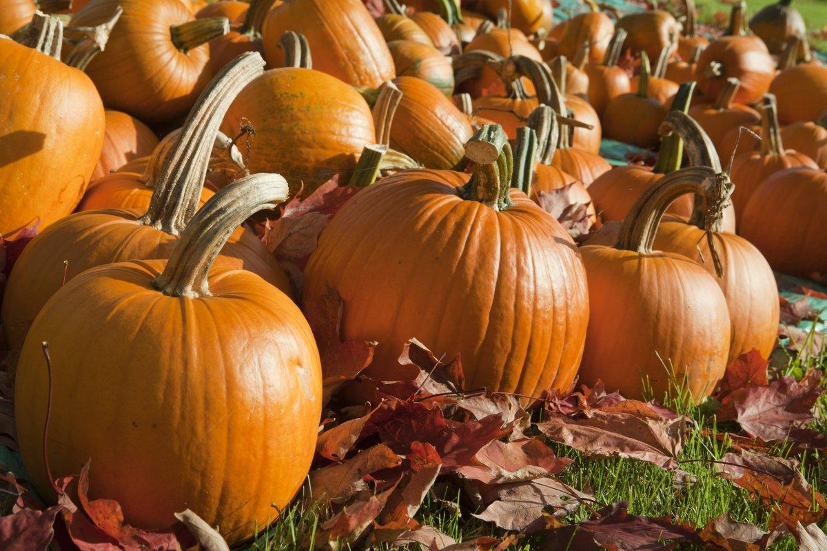 SEE IT: Thieves swipe 200 pumpkins from a New Jersey farm during pumpkin heist