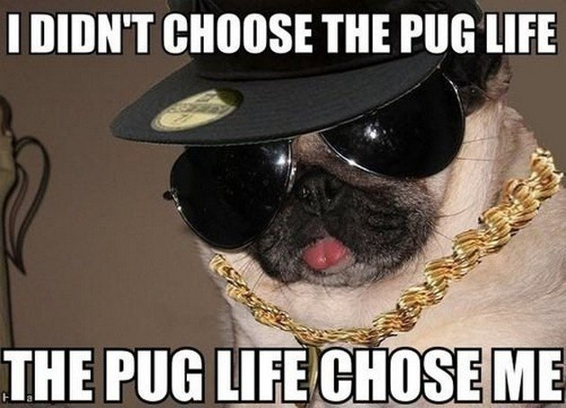 Where are the #pug lovers?!