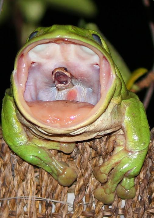 オーストリアでカエルに丸呑みされたヘビが激写される m.pikabu.ru/story/spasite_…