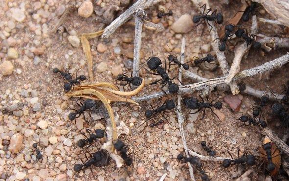 Des fourmis guettent le vent pour garder les pieds sur terre https://t.co/uD9ZeidBrJ #fourmis #zoologie