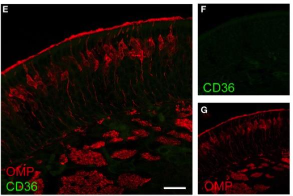 KO CD36 Antibody From AbD Serotec MCA2748 Validated In Mice Using Immunohistochemistry