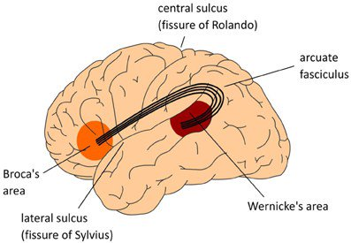 Broca and Wernicke are dead –it's time to rewrite the neurobiology oflanguage https://t.co/HYHAMnzfeg https://t.co/haAGCrNXjR