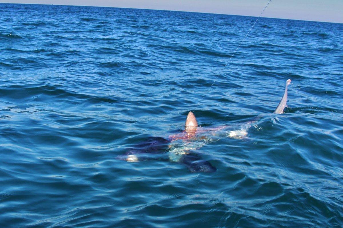 Un  requin renard de plus de 3 mètres observé au large de Port-Camargue 05966a18e92