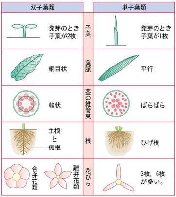 トウモロコシ 単 子葉 類