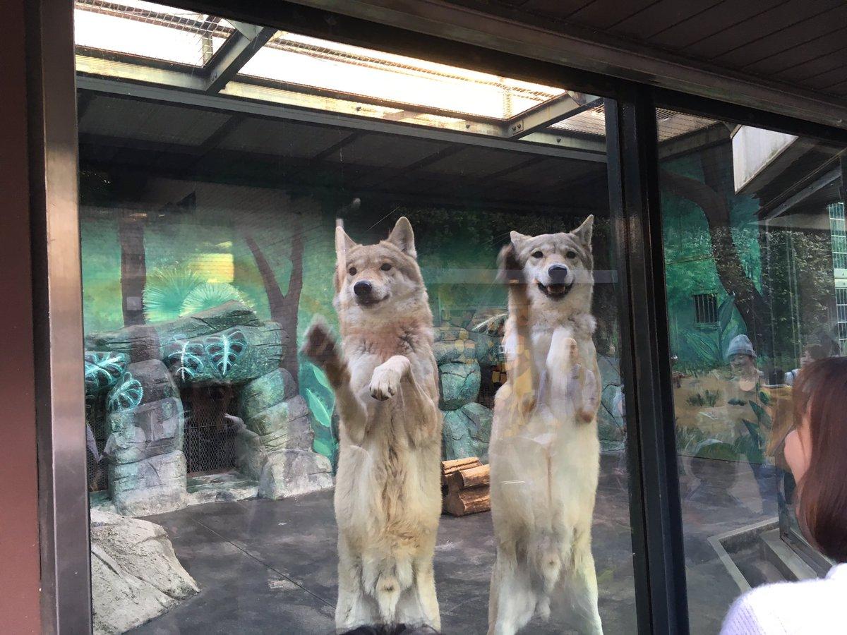 動物園のオオカミが可愛すぎるwwまるで犬www