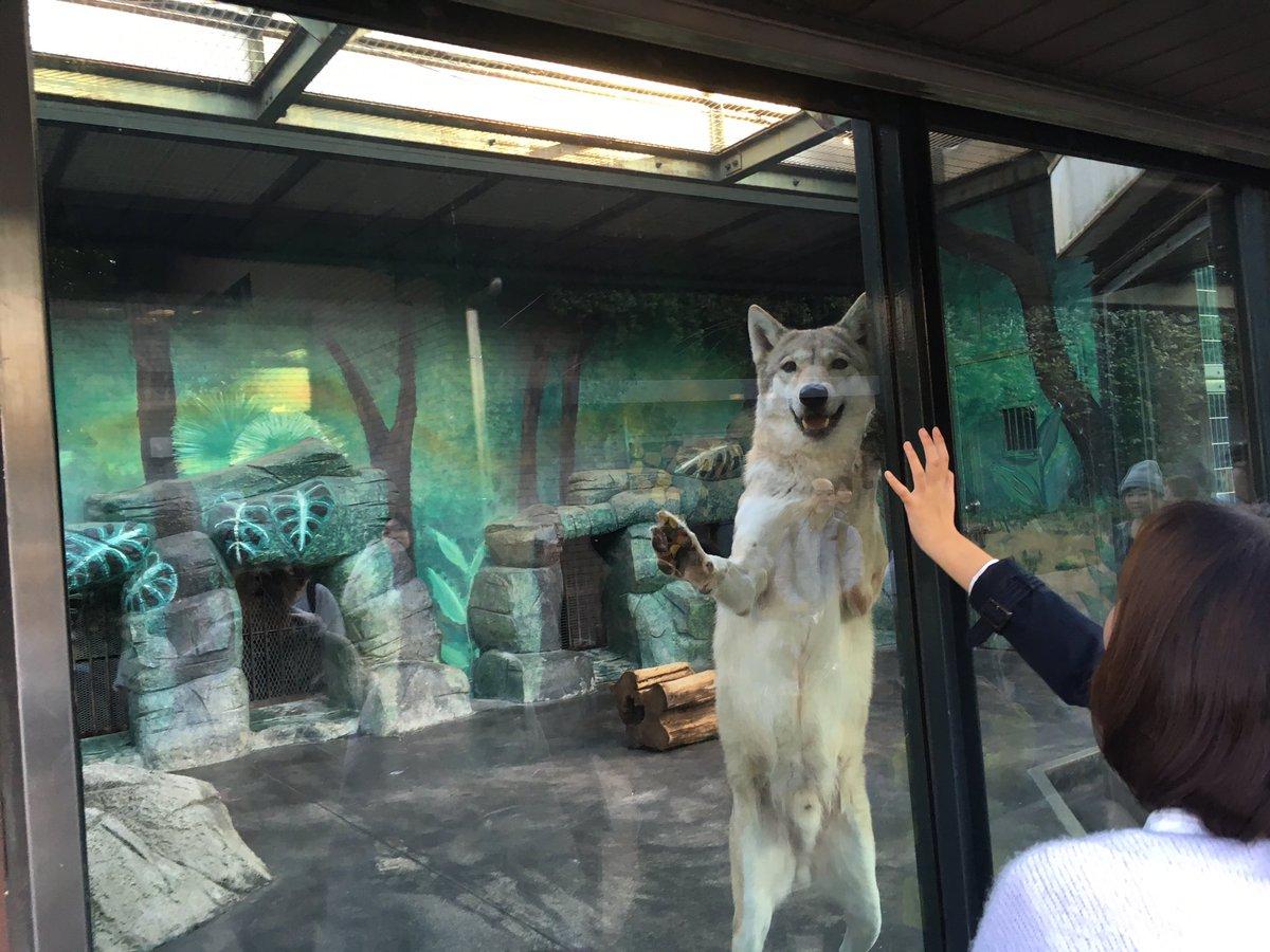 天王寺動物園でオオカミいたんだけど、なかなか愛嬌あるやついるなー思って撮ってたらもう一匹来てワロタw