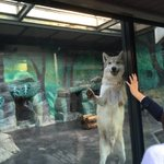 動物園のオオカミが可愛すぎるまるで犬!