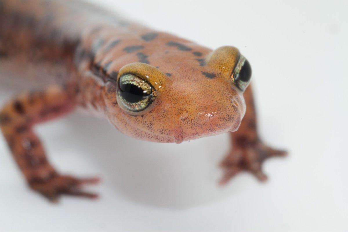 Salamander 2 sms 122