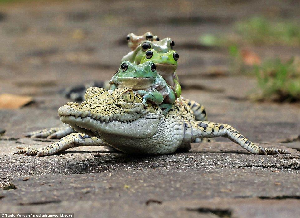 カエルを5匹乗せたワニの画像!!可愛いと話題!!