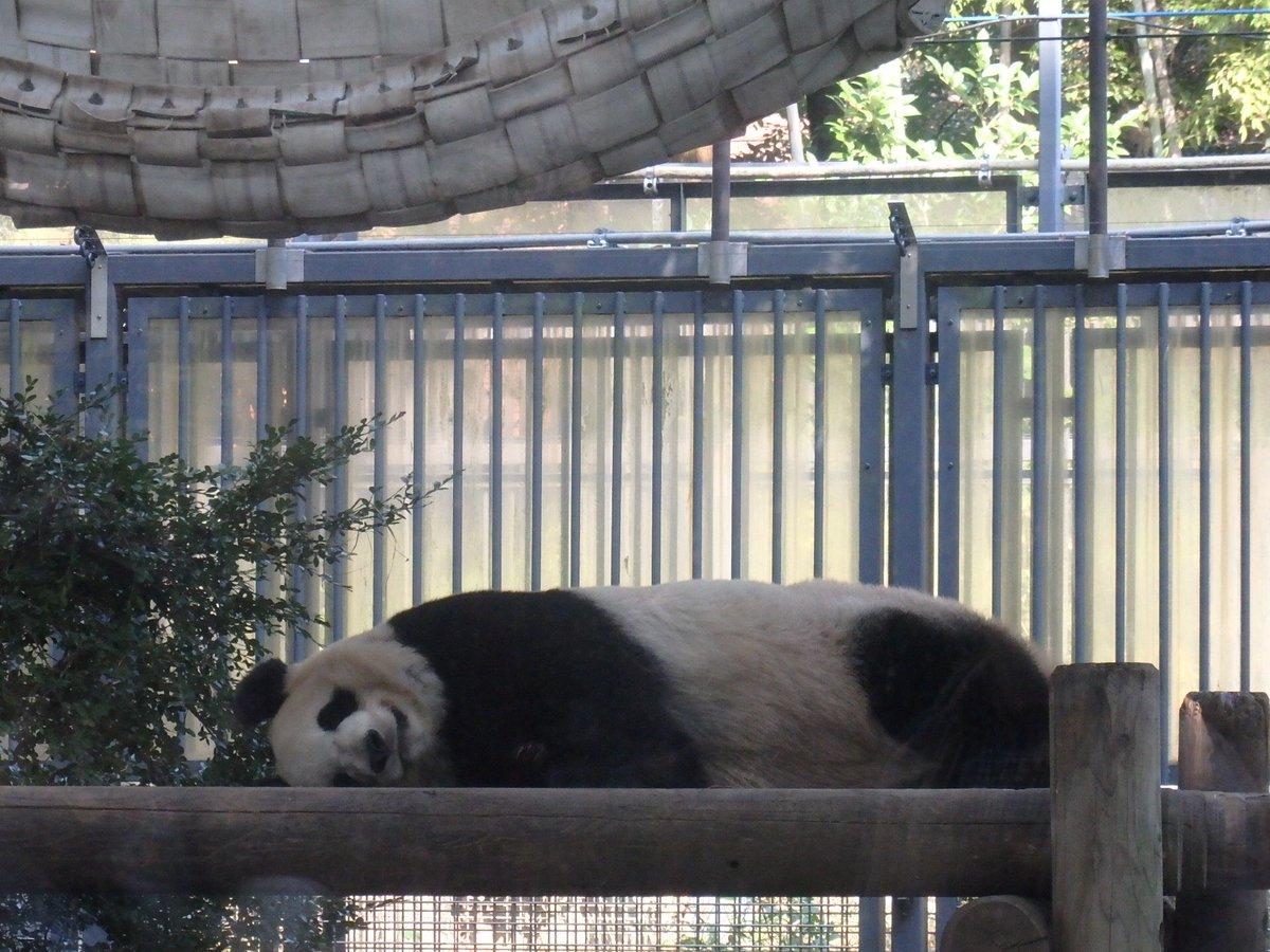 今日の一枚。 ダラダラしてるパンダ #上野動物園 https://t.co/Y0SfOUok2m