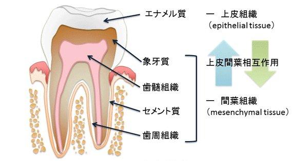 プレスリリース | 人工的に歯のエナメル質を形成することに成功 〜次世代のむし歯の治療や歯の再生への応用が期待〜 https://t.co/K4ulML3pu2 #東北大学 https://t.co/BUf9VJ1EPE