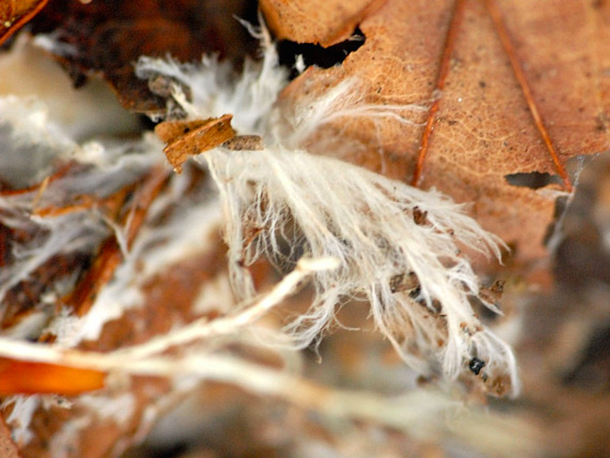 download Mealybugs