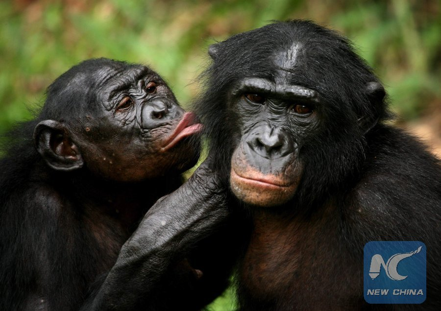 As #bonobos age, they need a good pair of reading glasses too: study
