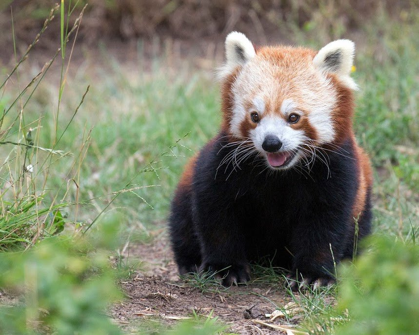 SF Zoo to make Election Day easier by live-streaming red pandas https://t.co/107ilGzb44