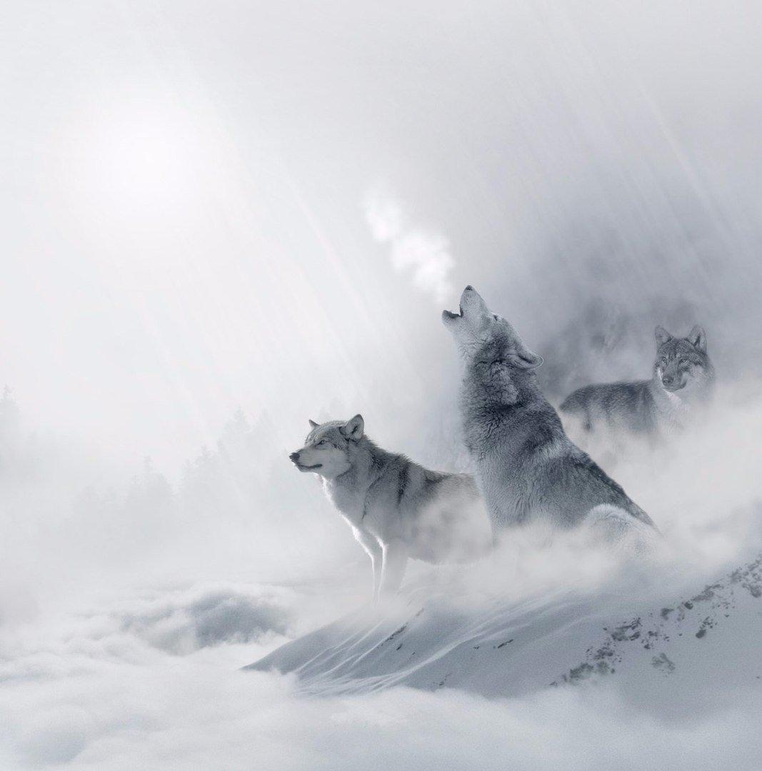 пары вечеров картинки волк уходит из стаи крыльев пустоты разрушительного