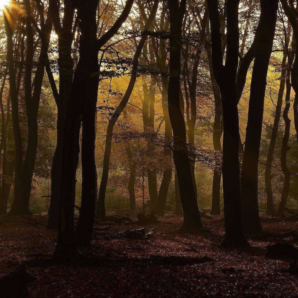 The dancing trees in the golden light... #autumn #tree #discover_holland #igholland #forest