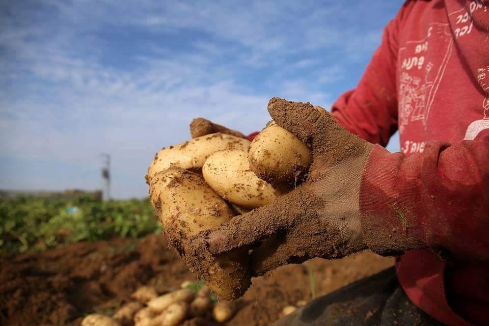 حصاد محصول البطاطا في بيت لاهيا شمال قطاع #غزة