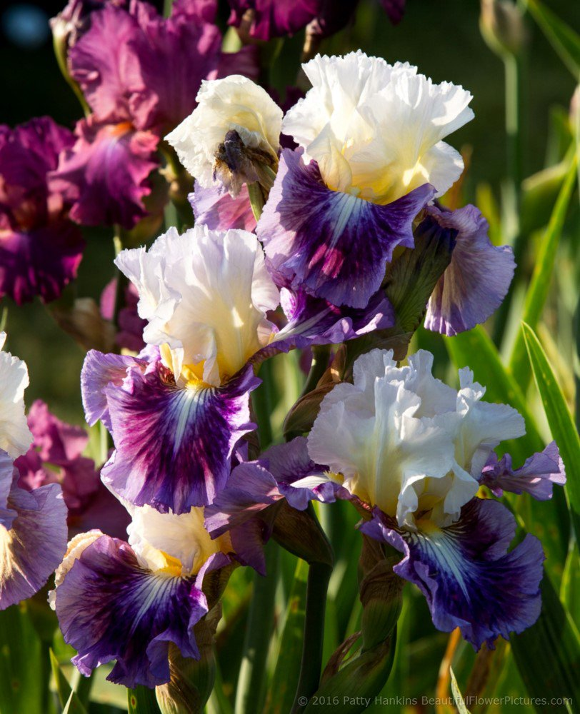 Jelly Bean parade Iris https://t.co/mKn9eGGB0g