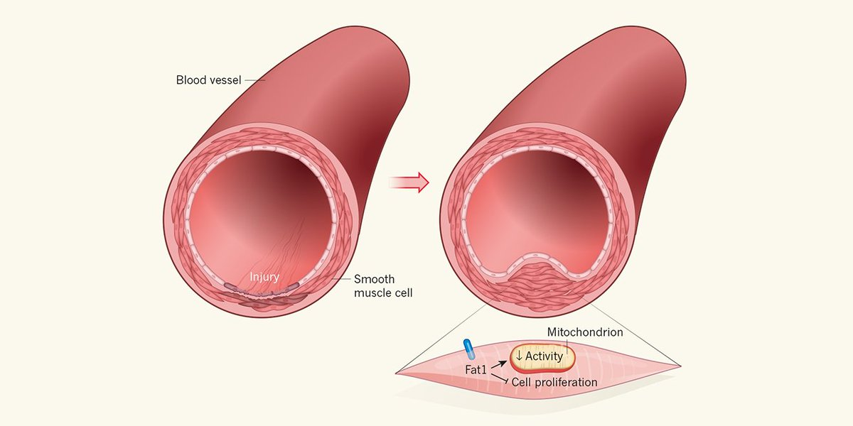 Nature News Views On Twitter Mitochondria Regulate Smooth Muscle